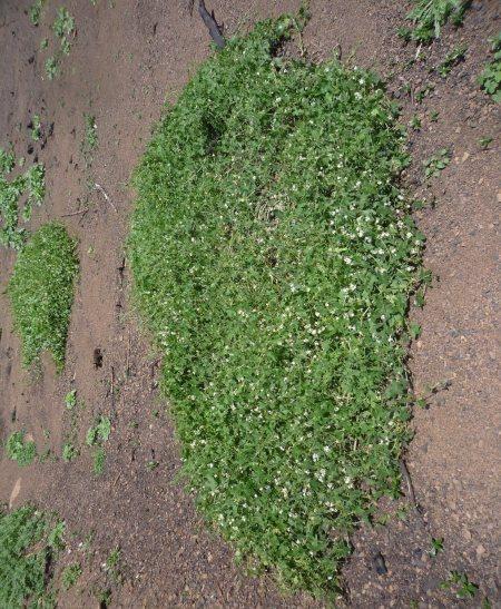 Marah-macrocarpus-0317-plant