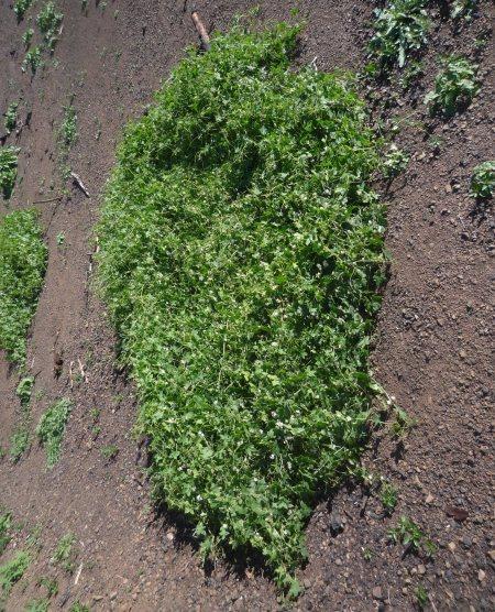 Marah-macrocarpus-0324-plant