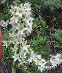 Marah macrocarpus flowers