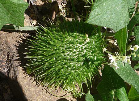 Marah macrocarpus seed