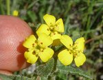 Camissoniopsis intermedia flowers