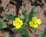 Camissoniopsis micrantha flowers