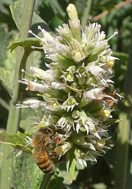 Agastache urticifolia flower with bee