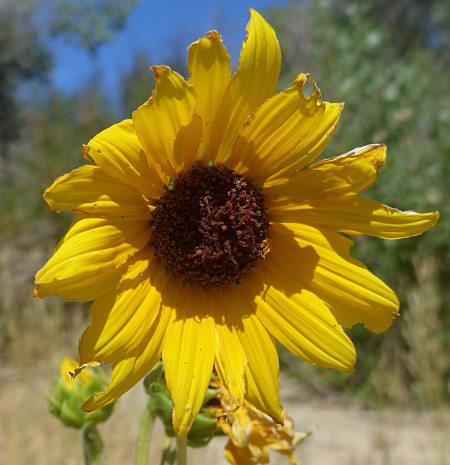 Helianthus annuus flower