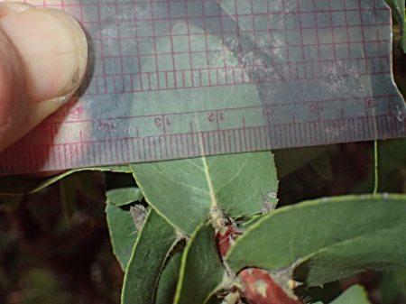 Arctostaphylos refugioensis leaf 2.7cm wide